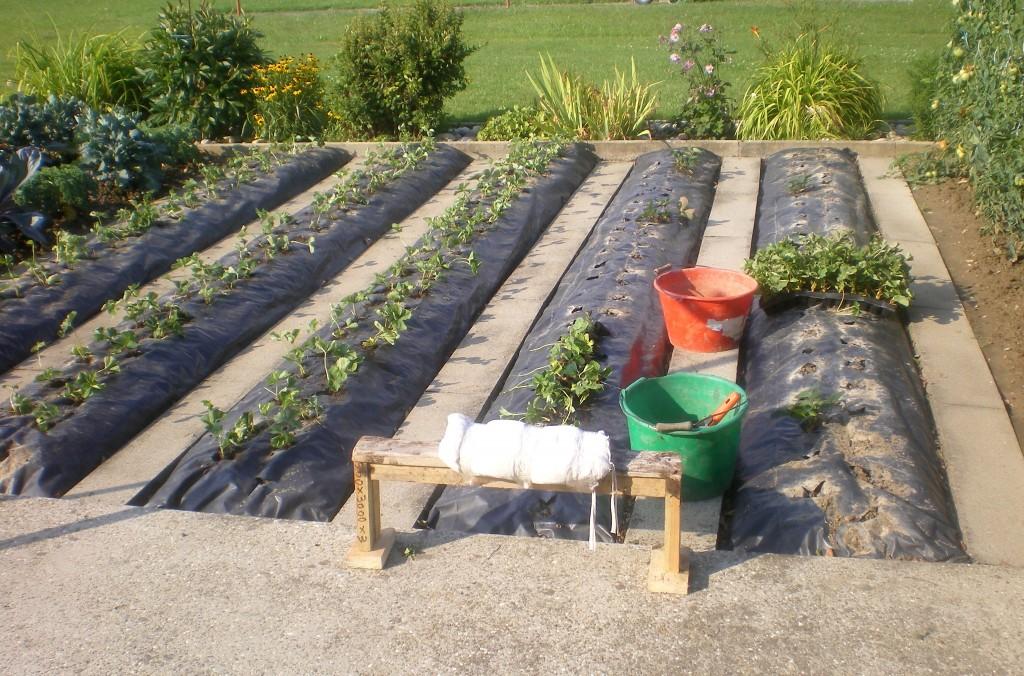 avantage de la plantation de fraise sur bache et nylon