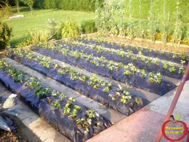 plantation fraisier au mois d'aout sur bache