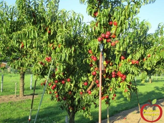 Nectarine Nectared 4