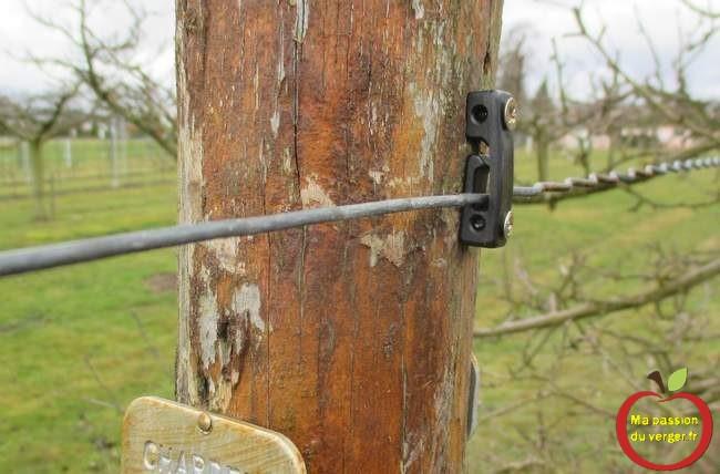 bonne fixation du fil de palissage fruitier. Clip drahthalter pour fil de tension haie fruitière.