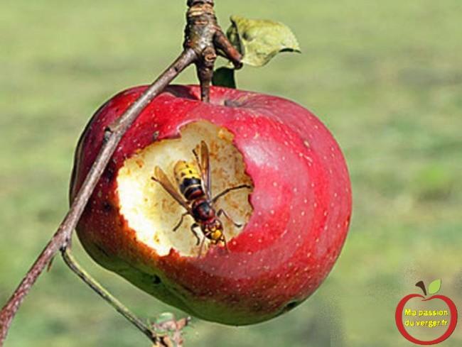 Dégât de frelon sur une pomme- pomme attaquée par les frelon- frelon sur les pommes- frelon mange les pommes- frelon vide une pomme.