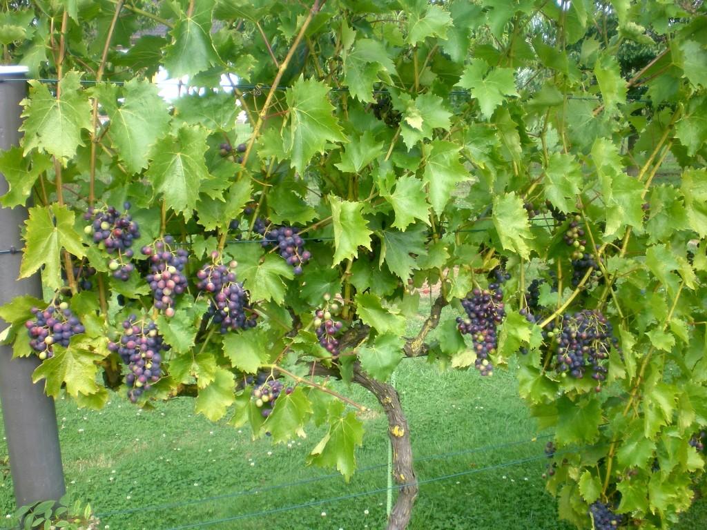 Le raisin mûrit, il change de couleur.
