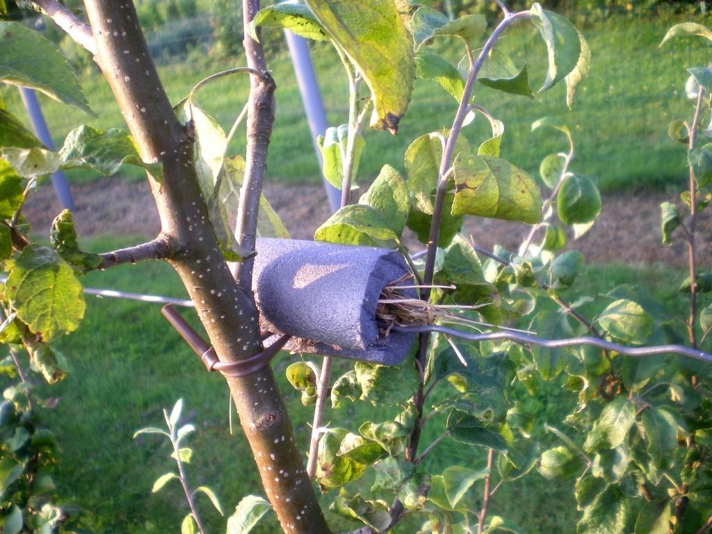 Déplacer un abri à forficules, ou perce oreilles, sur un autre arbres avec des pucerons.