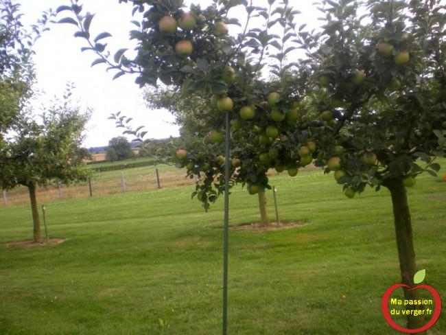 Il faut soutenir les charpentières trop chargées de pommes