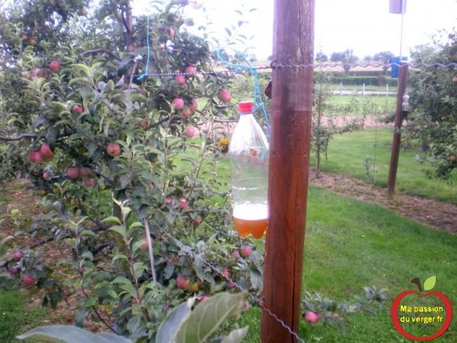 mise en place des pièges a guepes pour la protection des pommes en automne.