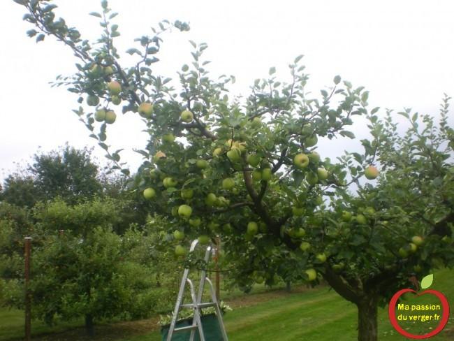 Les pommes grossissent à vue d'œil, au verger