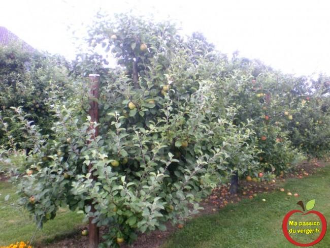 Refaire une dernière taille en vert, sur les pommiers, pour favoriser la coloration des pommes.