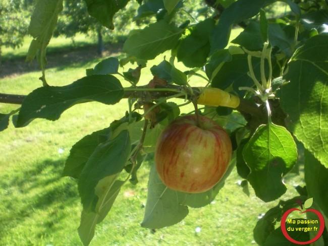 pomme avec greffage bois de deux ans, pour mise a fruit immédiate .