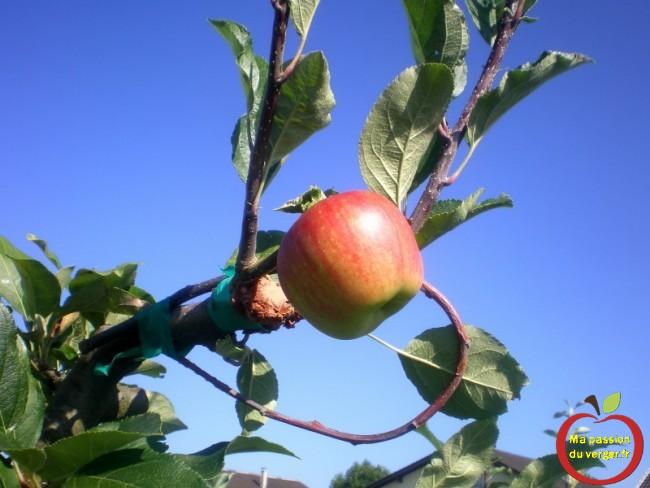 première pomme dans la meme année après le greffage