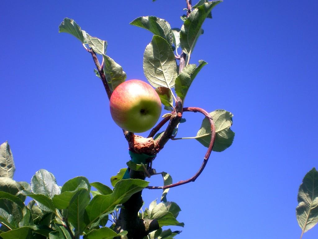 première pomme quelques mois après le greffage