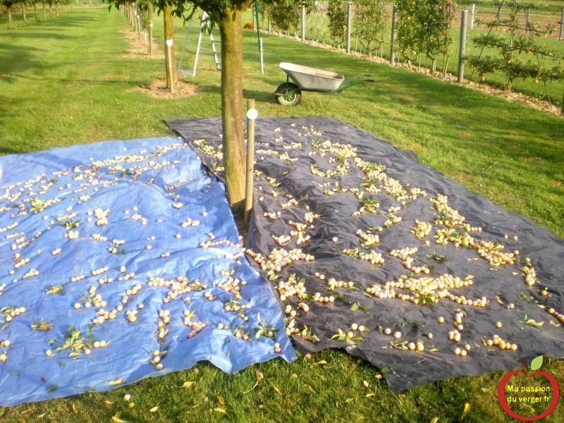 secouage leger des mirabelles sur baches et nylon