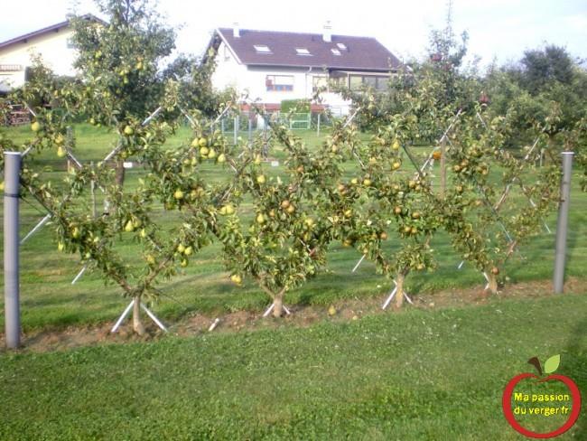 comment connaitre la date de récolte des poires, de plusieurs variétés.