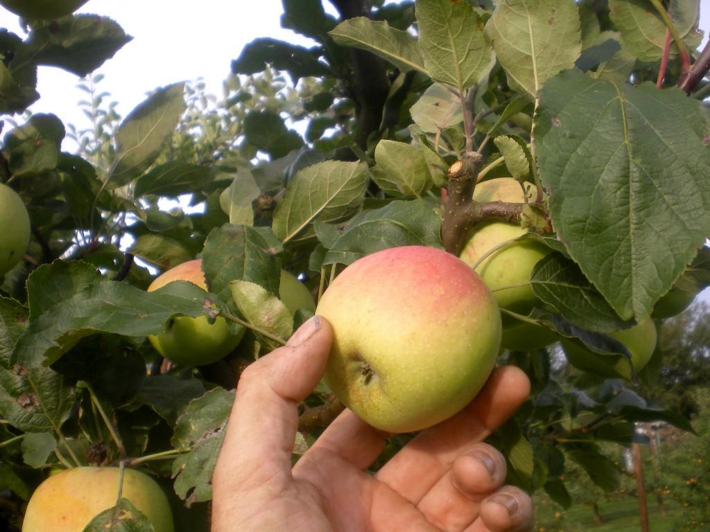 Prélever plusieurs variétés de pommes, presque à maturité approximative dans l'arbre, en haut et en bas, pour que le test à iode, soit significatif.