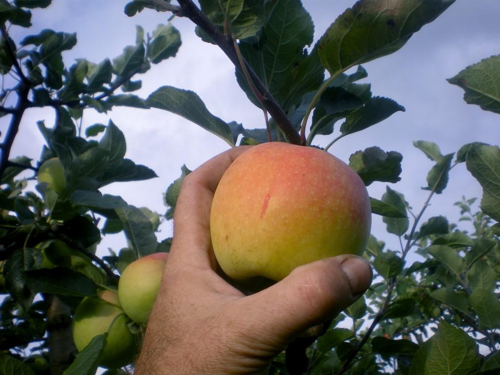Quand cueillir les pommes a bonne maturité, pour la conservation.