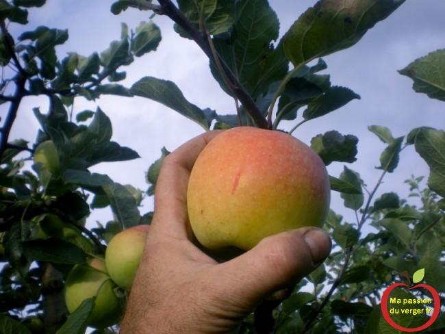 Comment cueillir les pomme du verger.