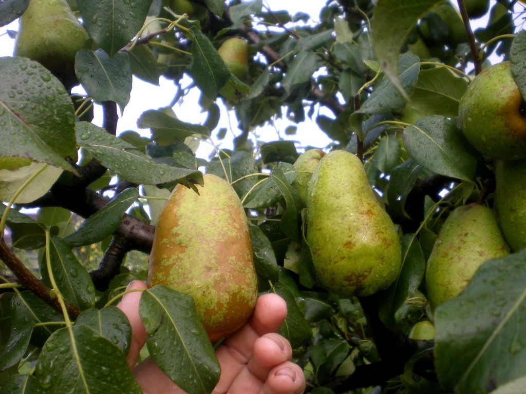 comment connaître la maturité des poires