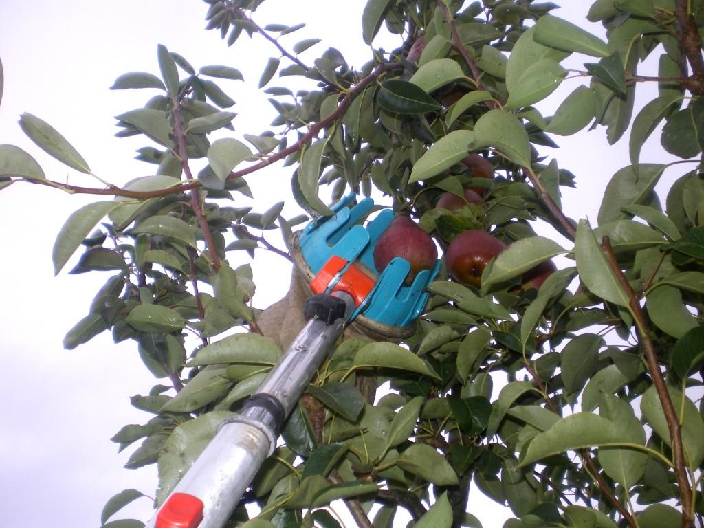 cueillette des poires, avec cueille fruit sur perche