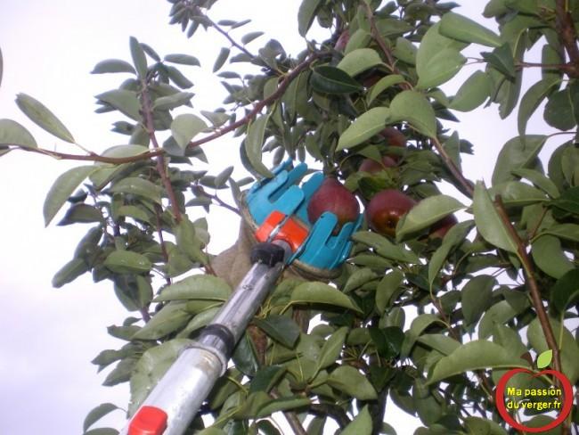 Récolte et cueillette des poires, avec le cueille-fruits.