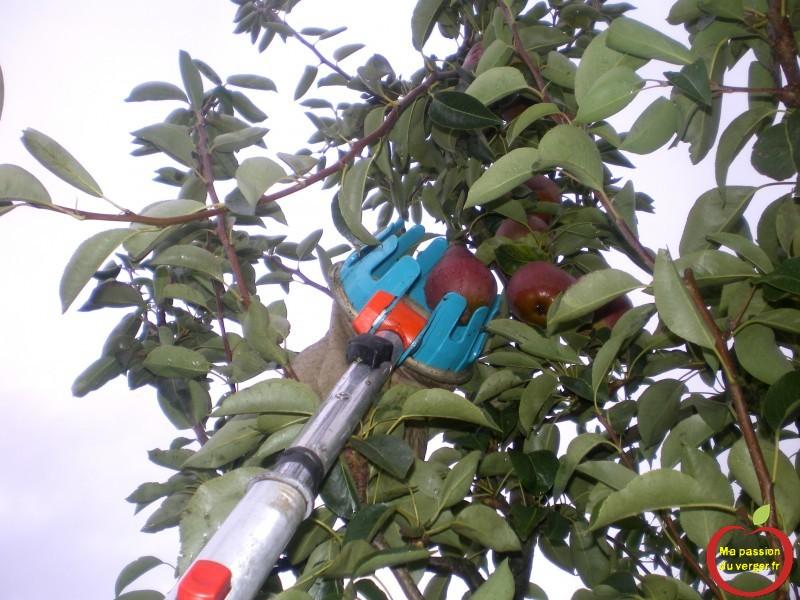 Quand recolter les poires williams