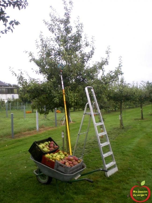Cueillette des poires, avec le cueille-fruits et le panier de récolte.