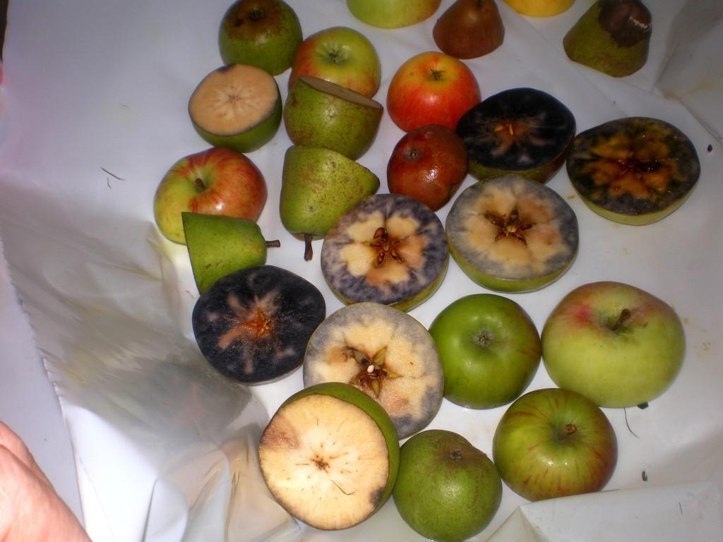 Mettre les pommes dans la poubelle, après le test à l'iode