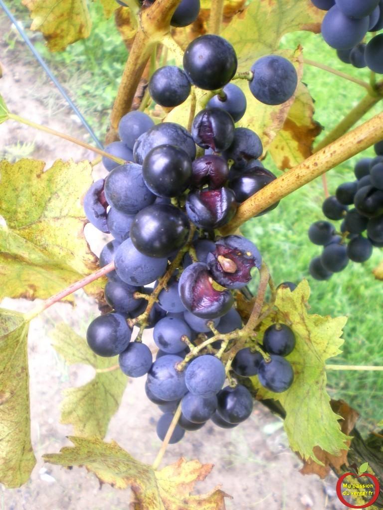 Éclatement des raisins, à cause de la pluie.