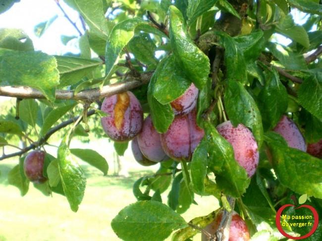 Éclatement des fruits, sur pruneau d'Agen, après la pluie.