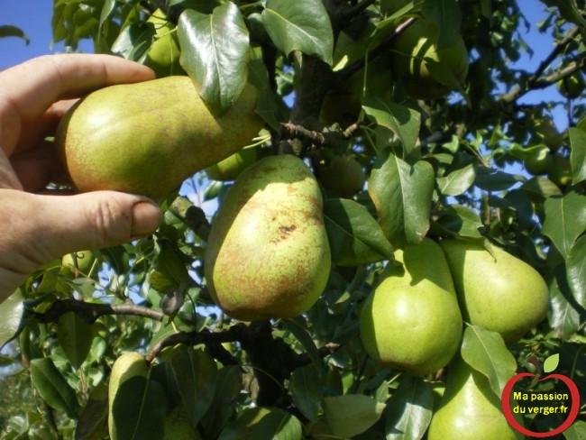 Cueillette des poires suivant la coloration des fruits