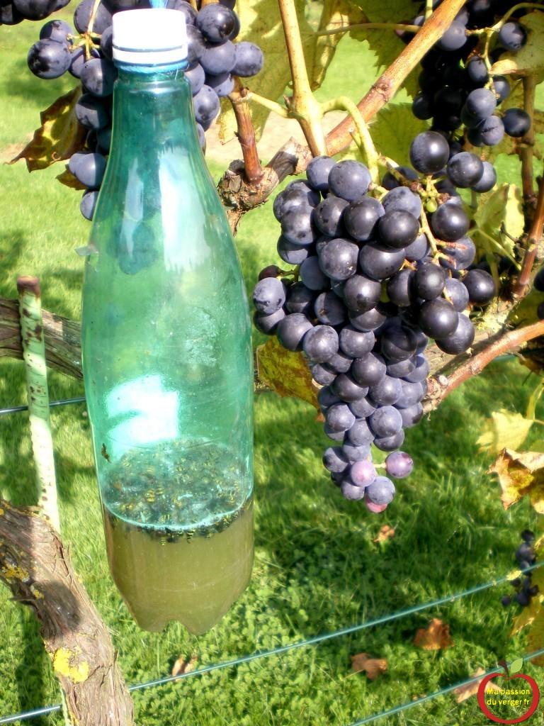 intallation de pièges à guepes dans le vignoble, pres du raisin