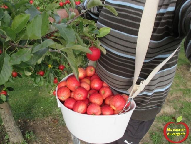 Quand récolter les pommes pour échelle - quand cueillir chaque variété de pomme- ma passion du verger