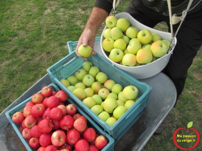Panier de cueillette fruits Triangle pomme