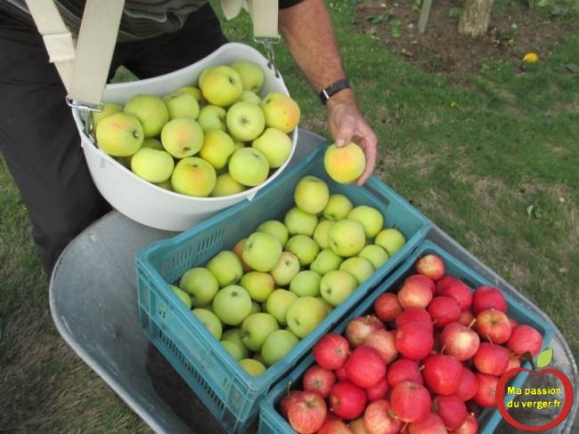 Quand cueillir les pommes, pour la conservation, dans le fruitier, la cave, la chambre froide,...