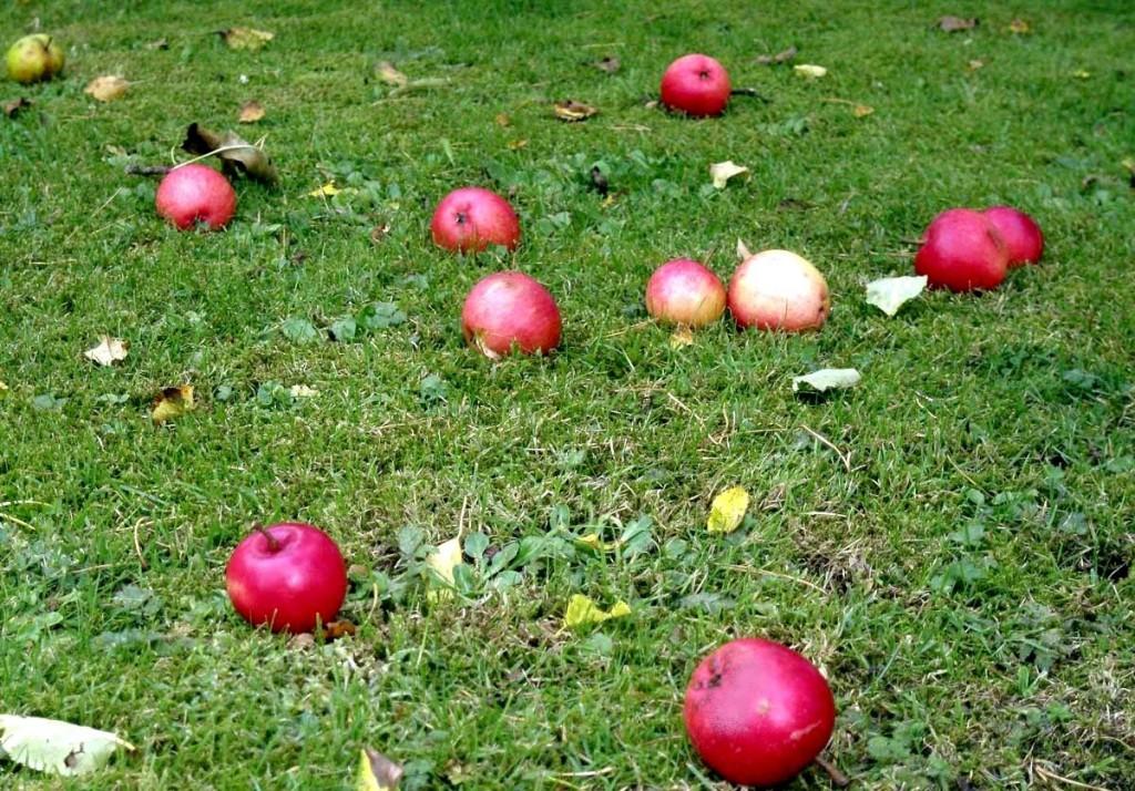 Eviter les pommes au sol, pour faire le test au iode.