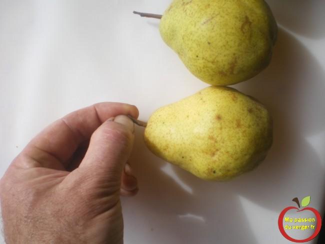 Pour définir la bonne maturité de la poire, Il faut tirer sur le pédoncule.