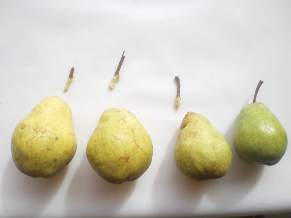 Trois pédoncules arrachés, donc trois poires à maturité, pour la consommation ou la transformation et une fois pas mûre.