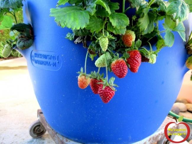 plantation des fraisiers en fût- tour de fraisiers-  fraisiers en tour - regrevudnoissapamegres
