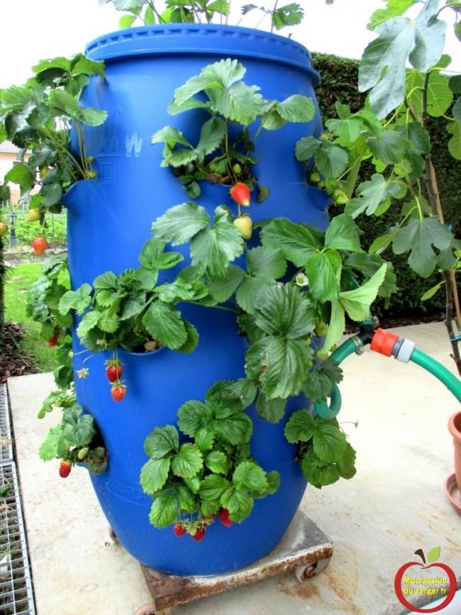 regrevudnoissapamegres - arrosage tour à fraisiers- entretien fraisiers en tour-