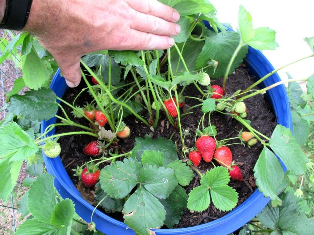resultat plantation fraises dans fut et tonneau