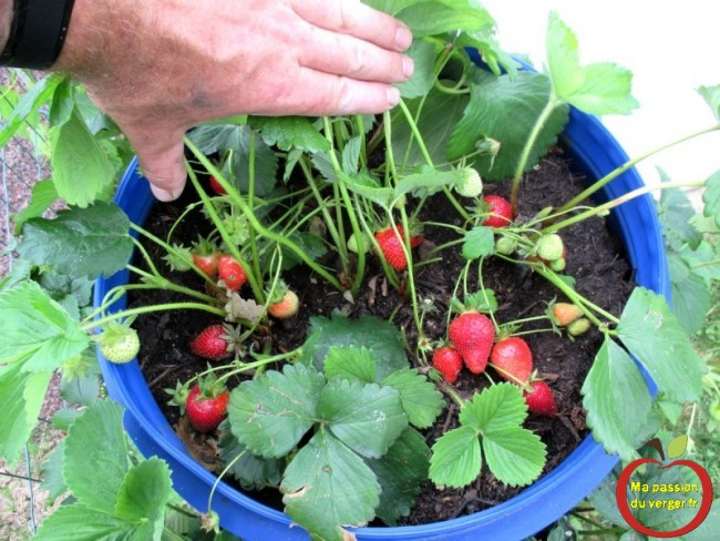 resultat plantation fraises dans fut et tonneau -récolte de fraise en tour - récolte de fraise en tour permaculture - -