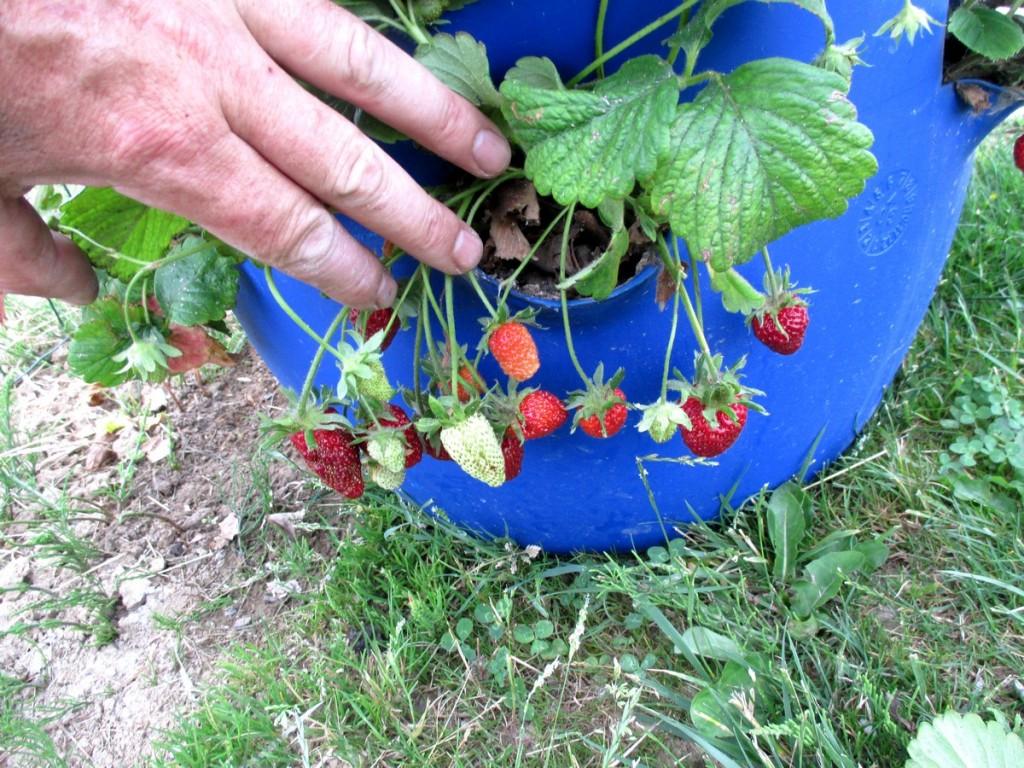 Iplantaer des fraises en tour en tube, en tonneau