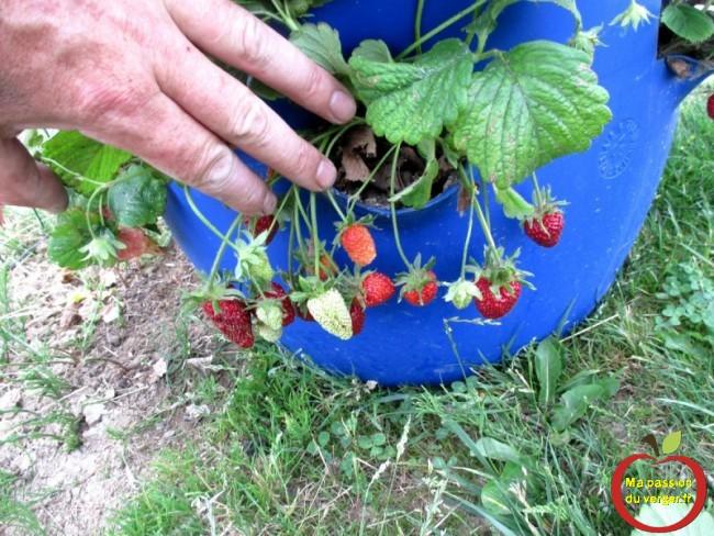 planter des fraises en tour en tube, en tonneau - fraise en permaculture
