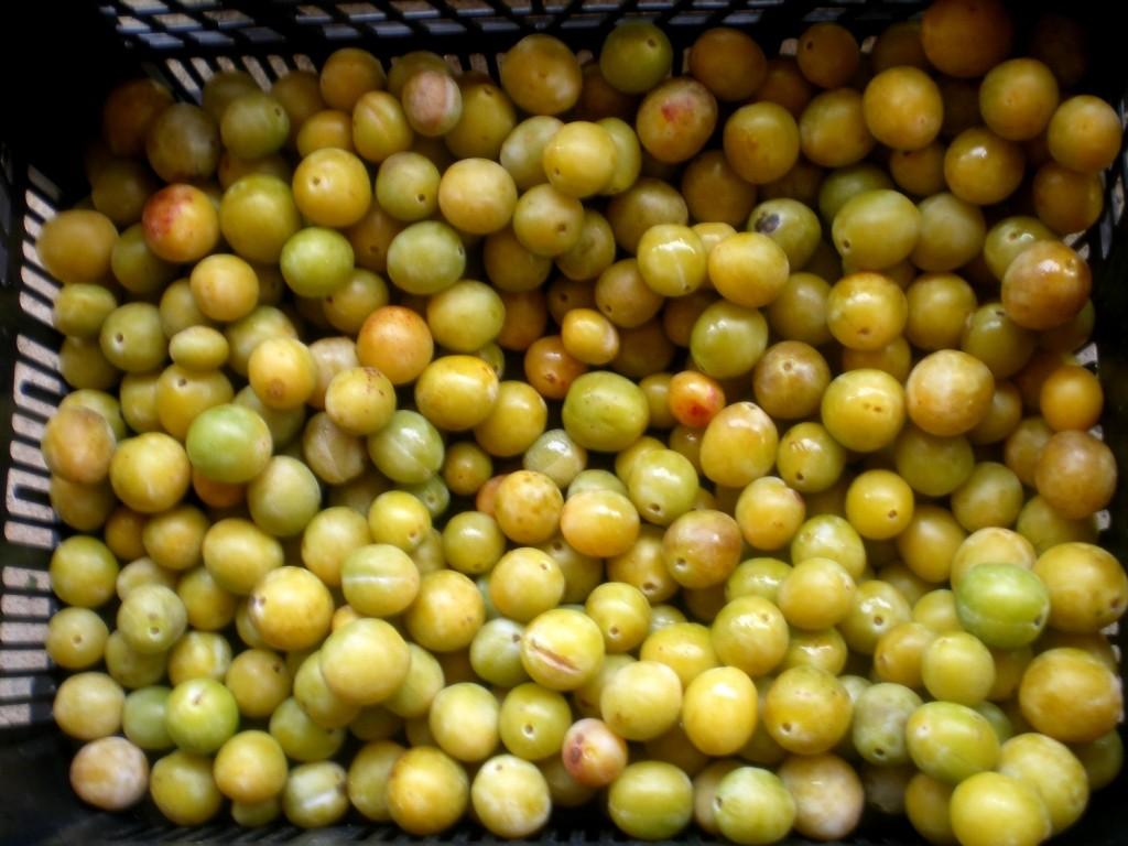 Enlever les fruits verts pour la mise en fut et distillation mirabelle