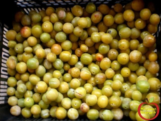 Enlever les fruits verts pour la mise en fut et distillation mirabelle  -ne pas mettre des fruits verts dans le fût.