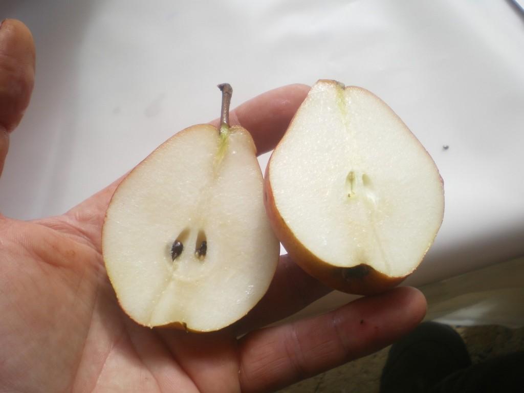 bonne maturité juteuse crocante fondante de la poire williams, pour mettre en fût.