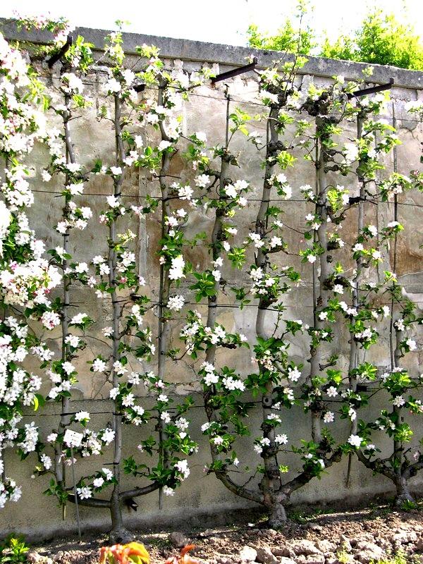 Pommiers en formes: Trident contre un mur