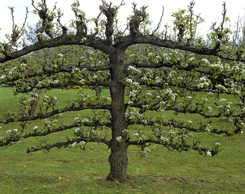 espalier- mauvaise taille et deséquilibre du haut de l'arbre, par rapport au bas