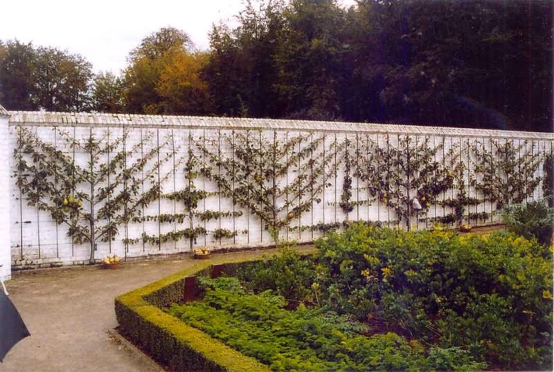 Palmettes obliques et palmettes horizontale:…..système COSSONET. contre un mur