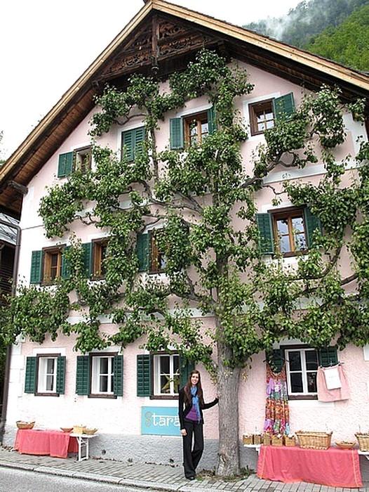 poirier contre façade de maison