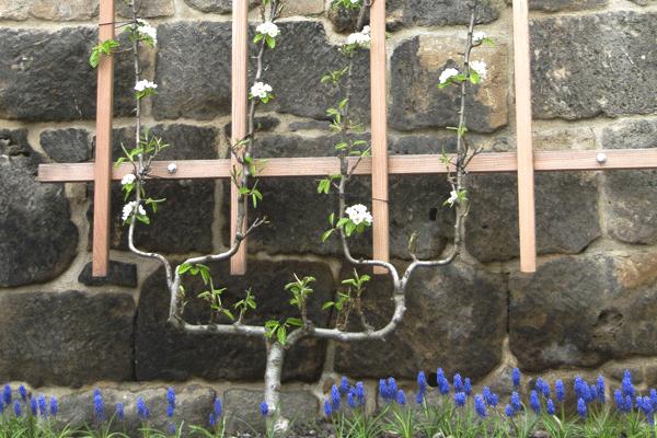 Birnenspalier1