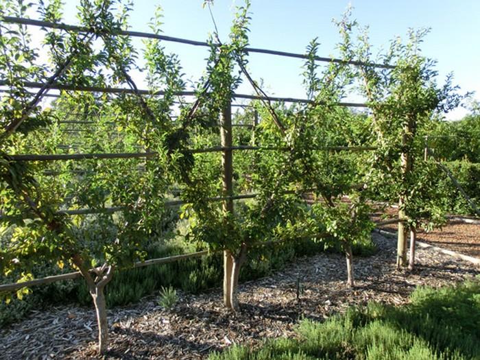 haie fruitière pommiers en système croily.